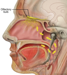 Taste science from mouth and nose diagram of the olfactory nerve and olfactory bulb ccuart Gallery